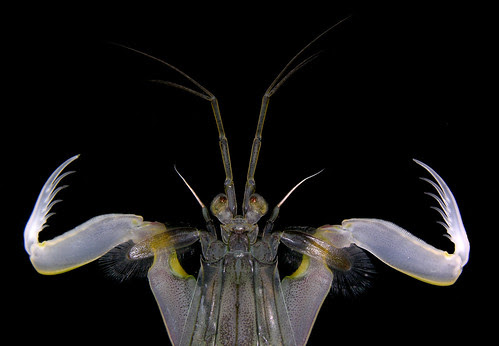 Squilla aculeata - raptorial claws