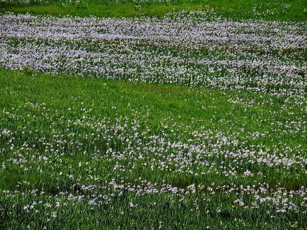 Wild about Wild Irises