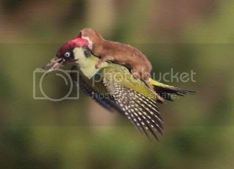 photo 01 Weasel Riding Woodpecker_zpsmyb01pqa.jpg