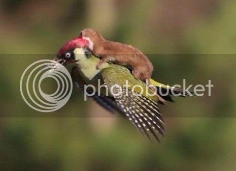 photo 01 Weasel Riding Woodpecker_zpsmyb01pqa.jpg