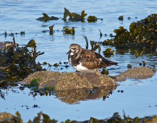 12198 - Turnstone at Port Eynon, Gower
