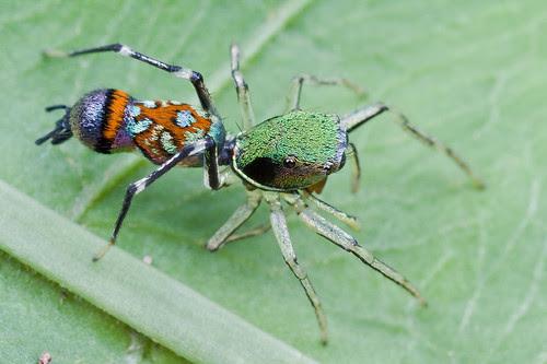 Orsima ichneumon , female jumping spider IMG_0001 copy
