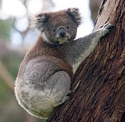 The koala and the eucalyptus forming an iconic Australian pair.
