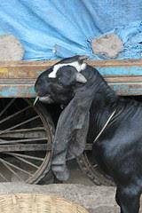 The Long Eared Goats From Punjab by firoze shakir photographerno1