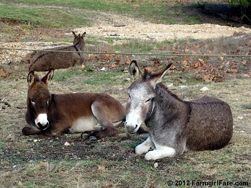 Donkey hangovers 4 - FarmgirlFare.com