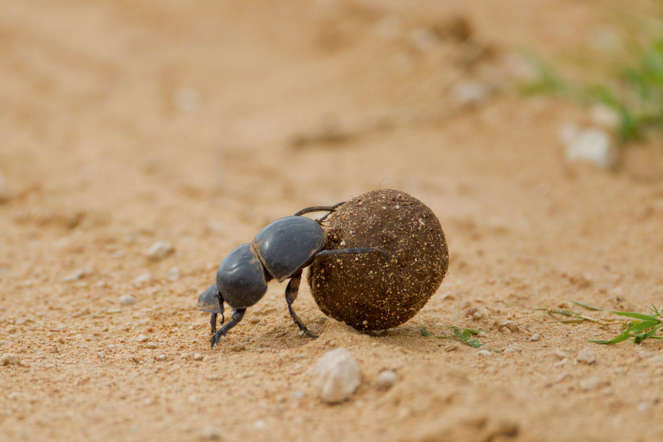 A holy symbol to ancient Egyptians, scarab beetles are able to survive solely on animal waste. Also known as dung beetle, they can roll dung into a ball shape and push it home, or dig a home next to a heap of dung to live in.