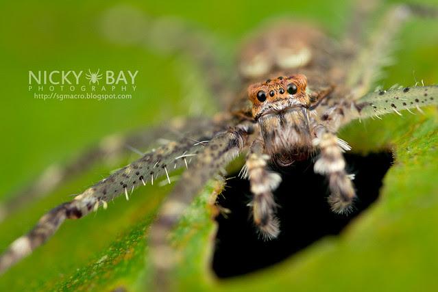 Huntsman Spider (Sparassidae) - DSC_0676