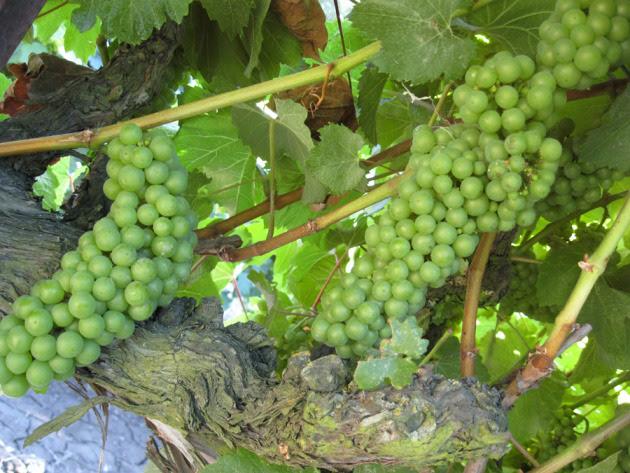 Chardonnay grapes ... getting close to harvesting season!