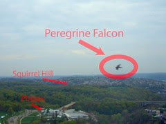 Peregrine Falcon Atop the Cathedral of Learning