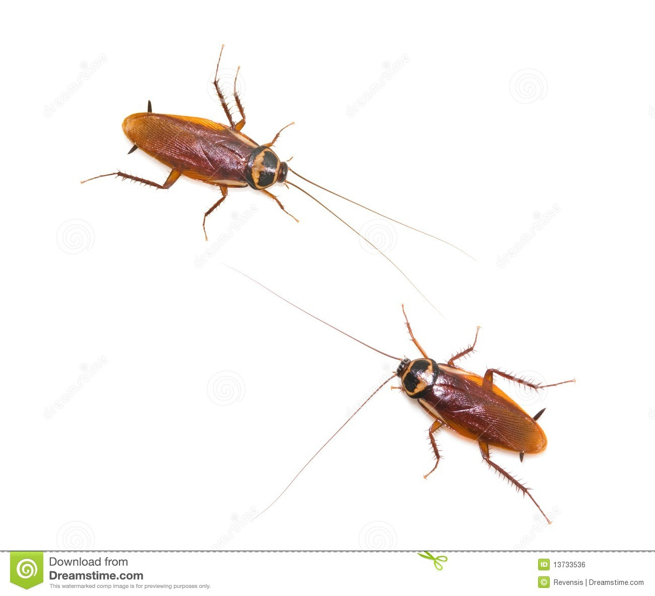 two isolated cockroach white background 13733536