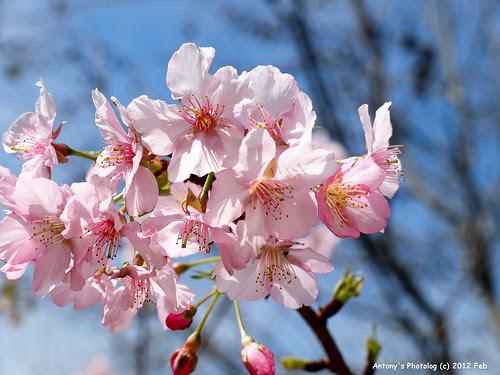 櫻花 -2