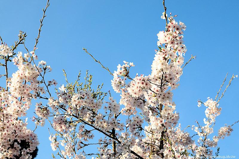 阿里山櫻花季18
