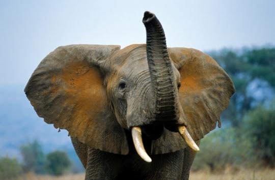 http://www.dicart-net.fr/PHOTOS/van%20den%20berghe/elephant-238082.jpg