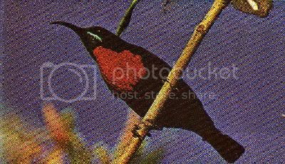 Pg15-3, SCARLET-CHESTED SUNBIRD