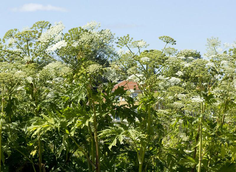 Common hogweed 1 Municipality 0
