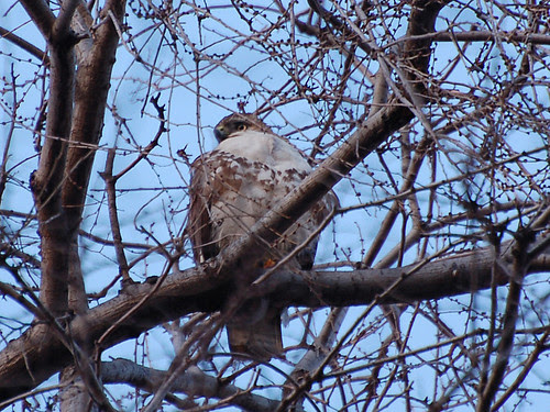 Riverside Juvie Red-tail