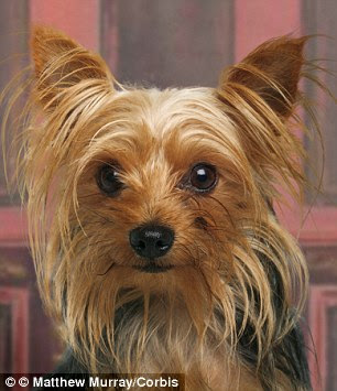 Chased: A burglar ran terrified from a home when he was chased away by a tiny Yorkshire Terrier (not photographed)