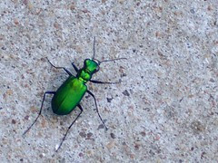 tiger beetle at prairie park