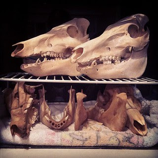 BONELUST BONE PROCESSING PROGRESS: The 5 Wild Boar Skull Project Has To Be Put On Hold For A Bit. So Moved These 4 To This Temp Home. Top 2 Are Almost Done. Bottom 2 Are Drying. 5th Was Just Put In Peroxide Bath.