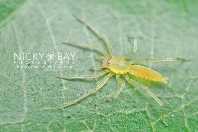 Sac Spider (Clubionidae) - DSC_5092