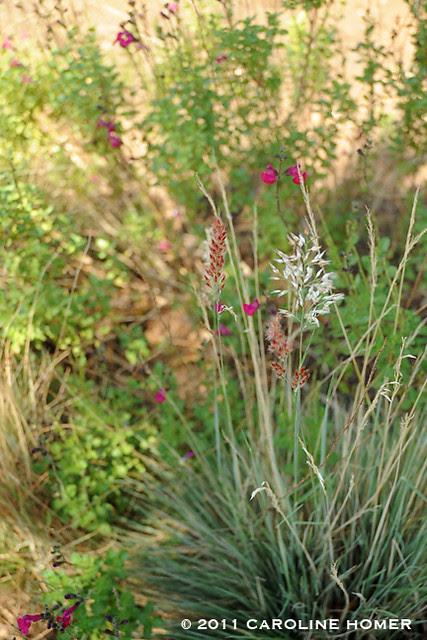 'Ruby Crystals' grass & 'Violet Velvet' salvia