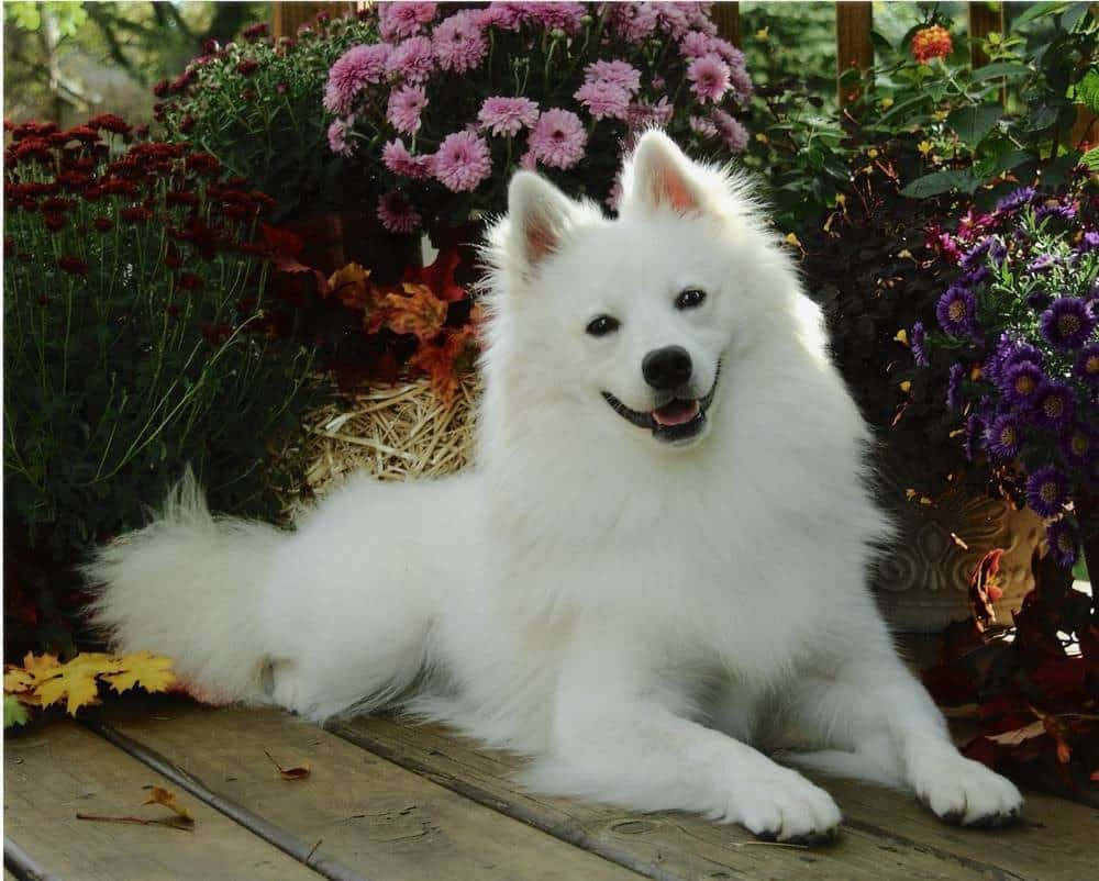 American Eskimo Dog Breed Info and Care  Toy, Miniature and Standard
