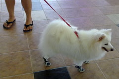 Dog with shoes