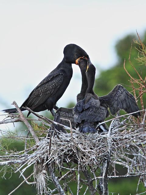 Double-crested Cormorant feeding chicks 05-20131210