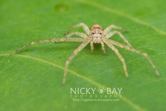 Crab Spider (Thomisidae) - DSC_6449