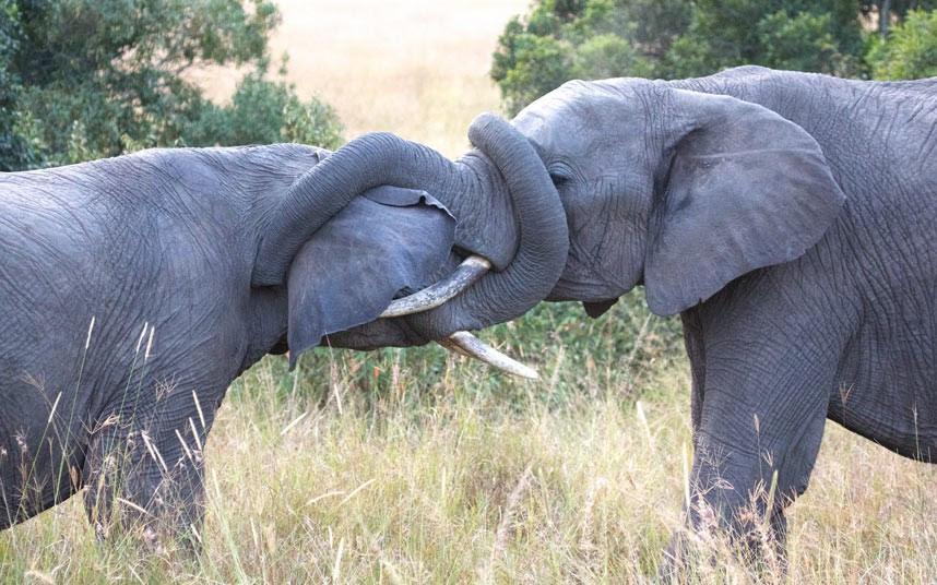 Δύο αρσενικοί ελέφαντες μαλώνουν για τα μάτια μιας θηλυκιάς ελεφαντίνας.