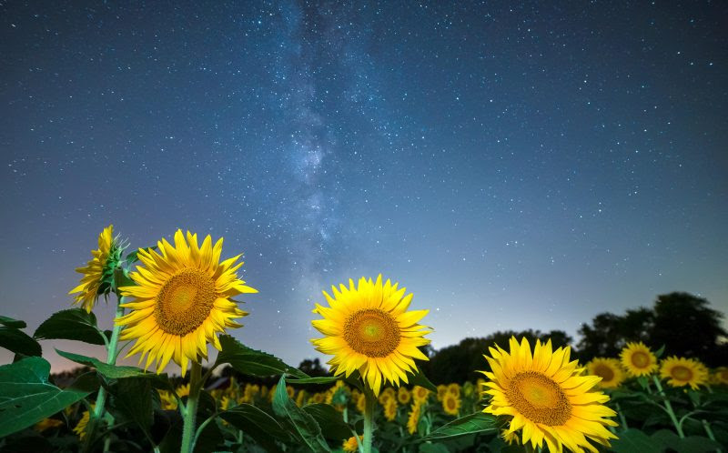 Shining for the stars- bright field of sunflowers ...
