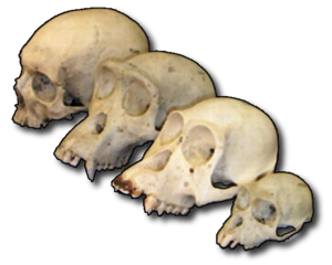 Primate_skull_series