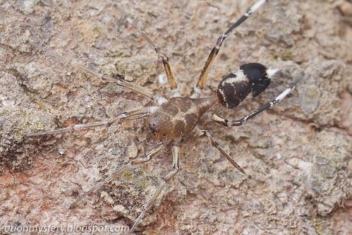 Aetius nocturnus Ant-mimic sac spider. IMG_0022 copy
