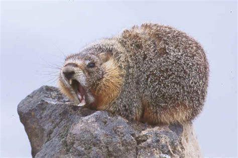 Marmot!!!!   Rodrepel Blogs
