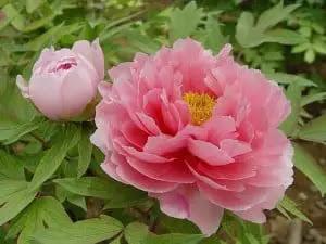 Paeonia suffruticosa-peonía china de árbol