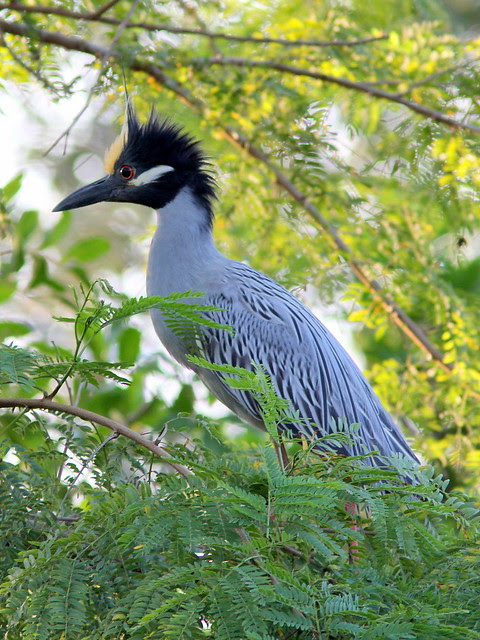 Yellow-crowned Night-Heron 2-20130406