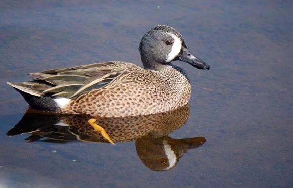Ed Gaillard: birds &emdash; Blue-Winged teal, Green Cay