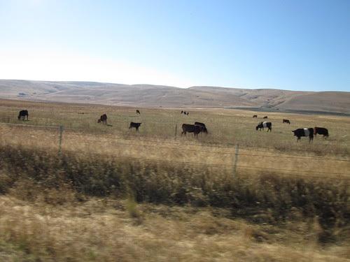 Oreo Cows!