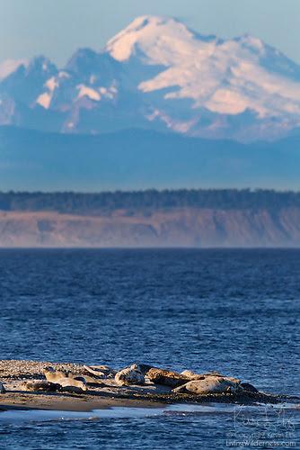 Harbor Seals and Mount Baker, Protection Island, Washington
