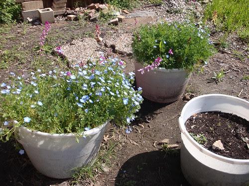 backyard_wildflowers 014