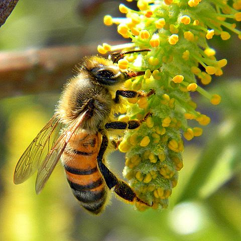 Honey_Bee_on_Willow_Catkin