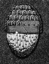 FIG. 250. SCALE STITCH IN GOLD THREAD AND PURL ON A CORD FOUNDATION.