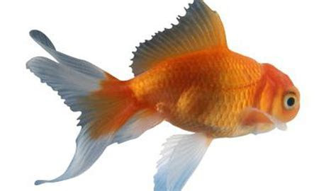 How to Distinguish a Fantail Goldfish From a Veiltail   Animals   mom.me