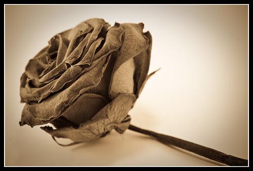 Rosa antigua V