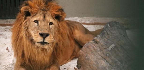 """O leão Dengo, que tem """"Aids felina"""" e não pode ficar junto a outros animais"""