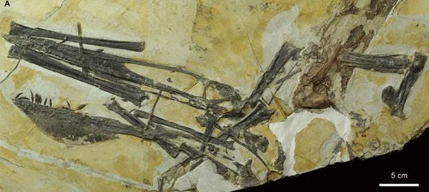 Fósseis da nova espécie de pterossauro que foram encontrados na China por paleontólogos (Foto: Divulgação/Scientific Reports)
