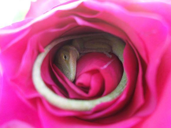 Rosa Lagarto 2