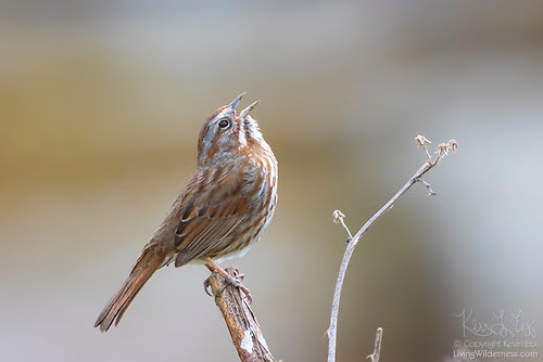 Song Sparrow Singing, Snohomish County, Washington
