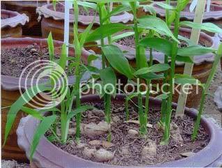 Pokok Bonglai (Zingiber Cassumunar)
