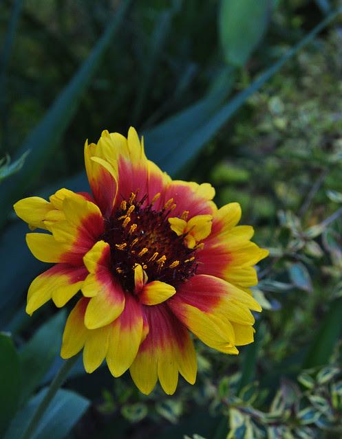 Gaillardia x grandiflora 'Goblin'